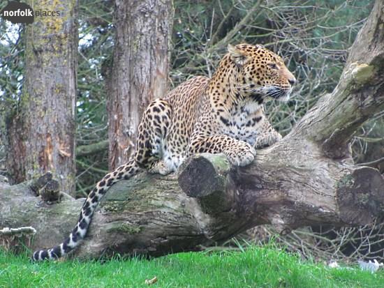 Banham Zoo -leopard