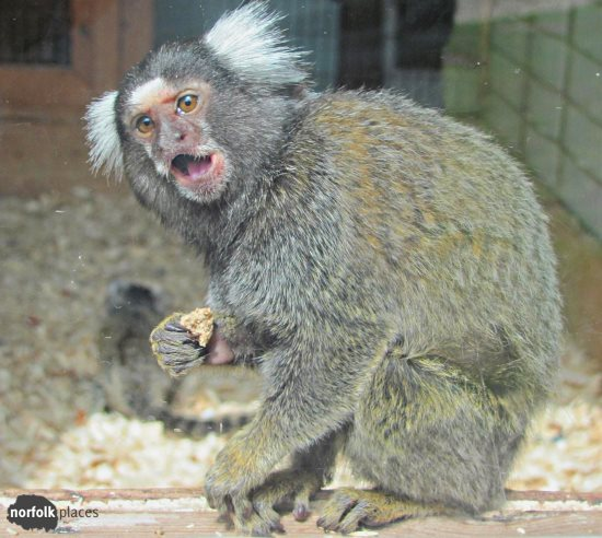 Amazona Zoo - Marmoset