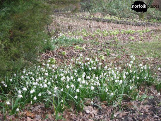 Fairhaven Woodland & Water Garden - snowdrops