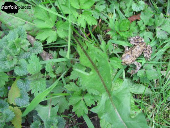 Sheringham Park - frog