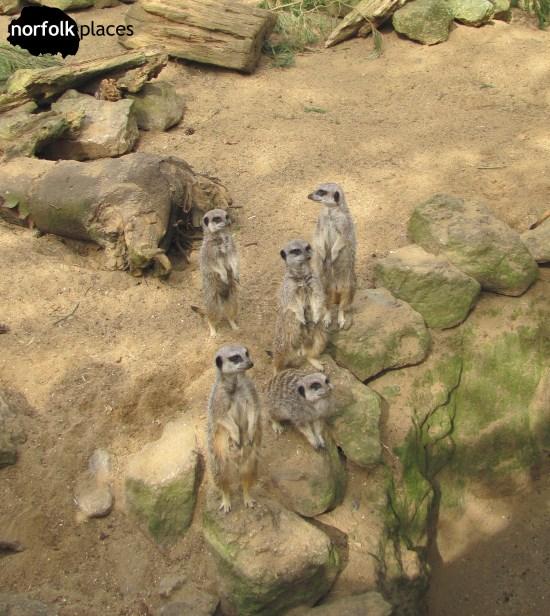 Meerkats at Banham Zoo, Norfolk