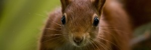 Pensthorpe Conservation Trust - Baby red squirrel