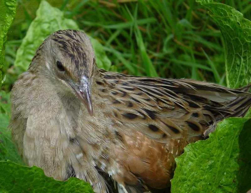 Pensthorpe Conservation Trust - Corncrake-small