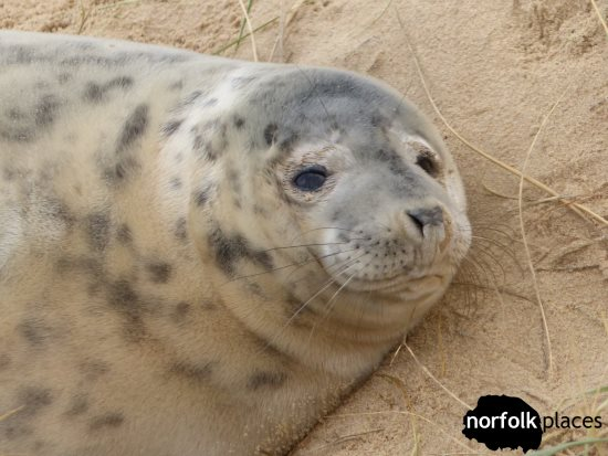 Horsey Seals - close up photo