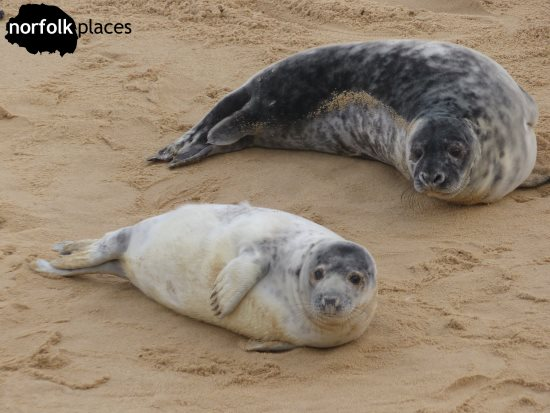 Horsey Seals