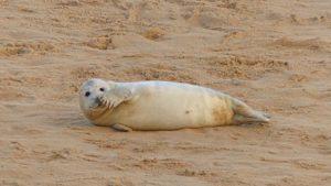 Seals at Horsey Greater Yarmouth