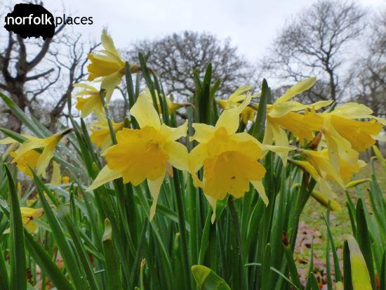 Felbrigg Hall - daffodils