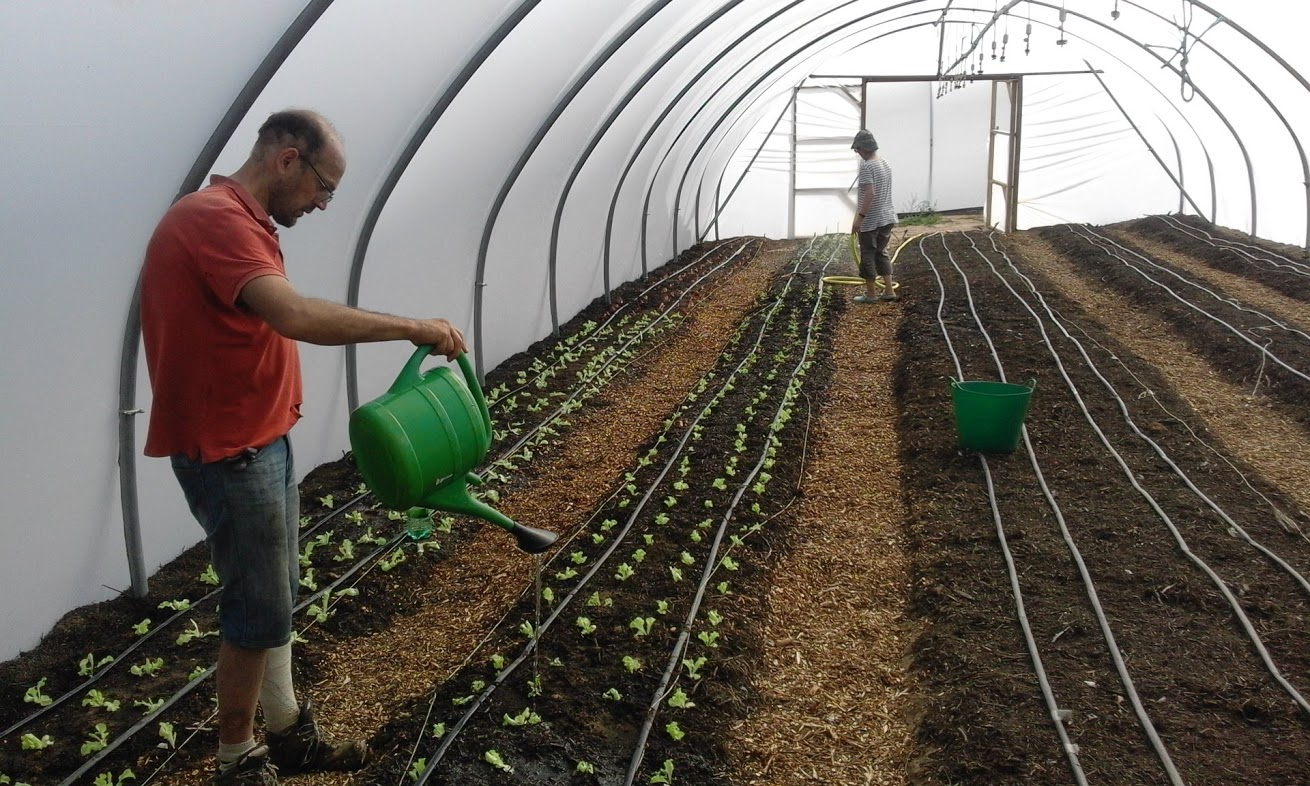 Norwich FarmShare - Erik & lettuces in polytunnel