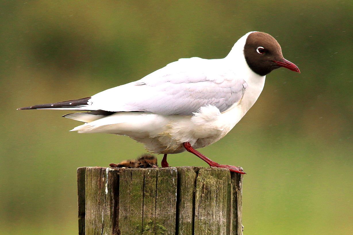Fairhaven_Black Headed Gull Colony