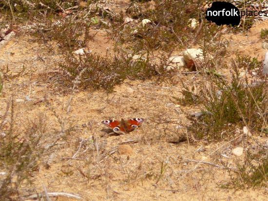 Dunwich Heath and Beach - butterfly