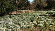 Walsingham snowdrops