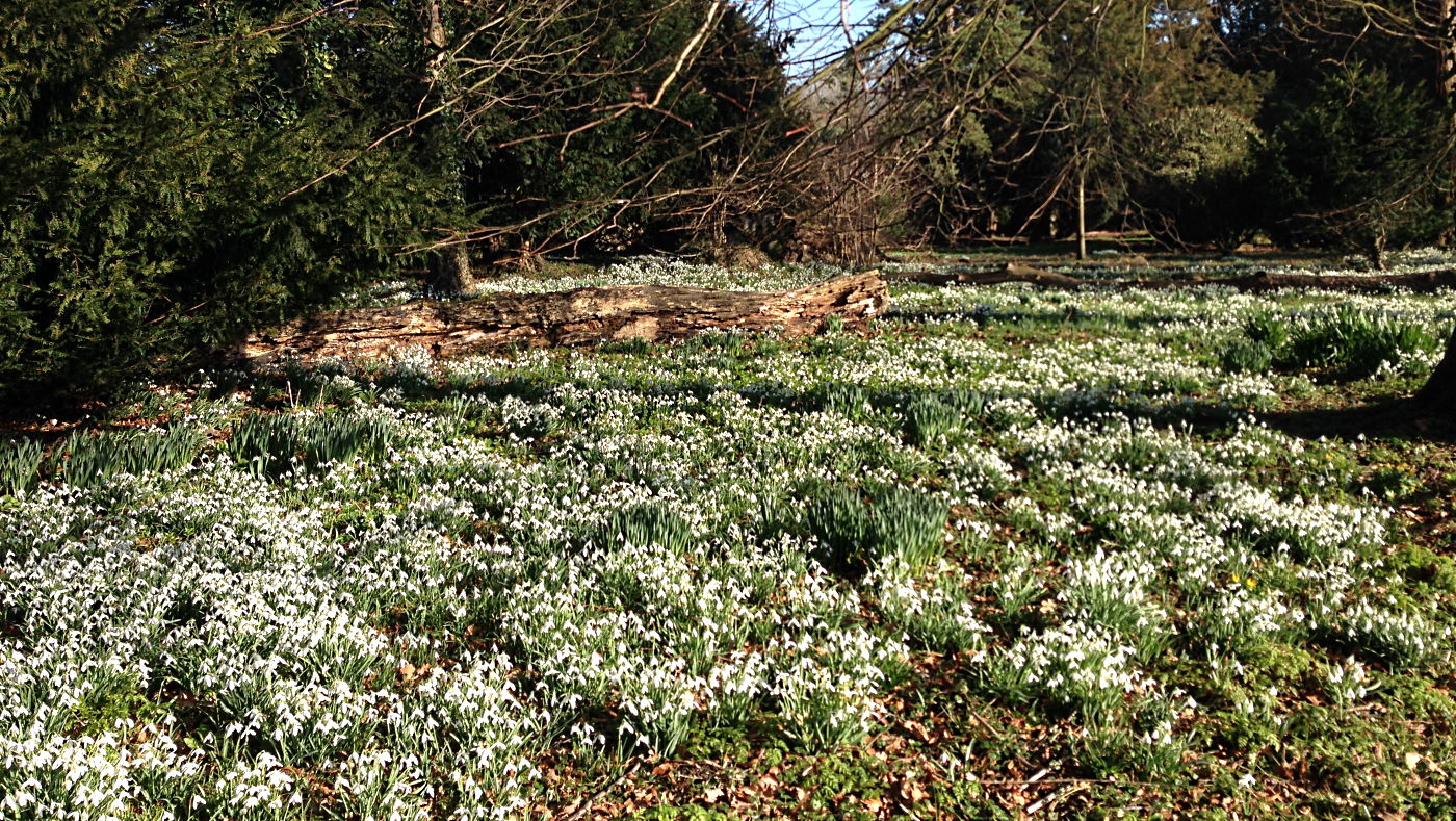 Walsingham snowdrops