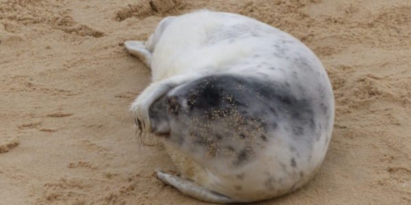 Seal at Horsey Norfolk