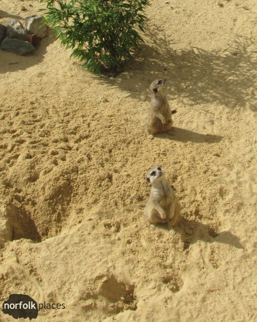 meerkats at Pettitts