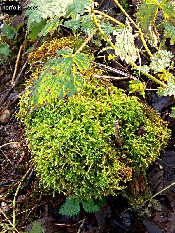 Cringleford walk-moss