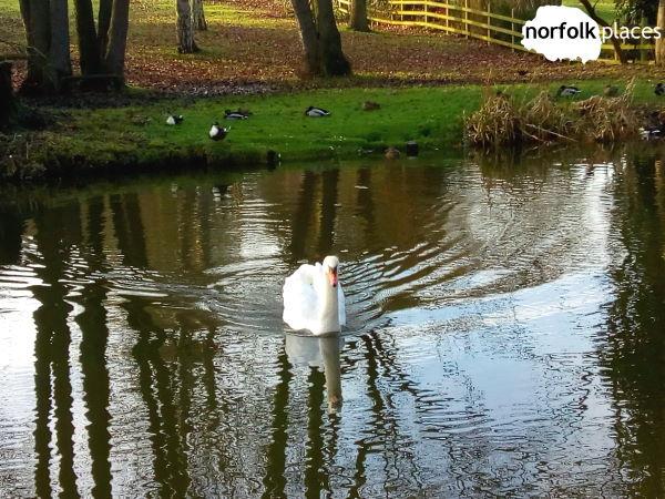 ringleford walk- swan