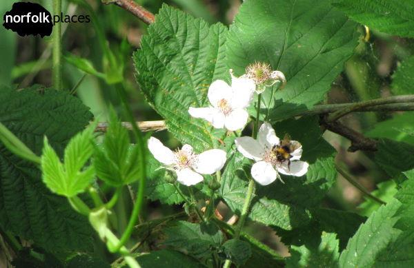 Barton Broad - Bee