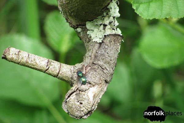 Barton Broad - common green bottle fly