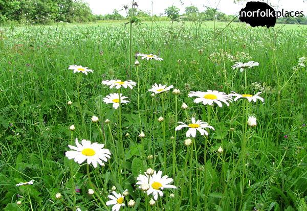 Daisies in a field near Barton Broad