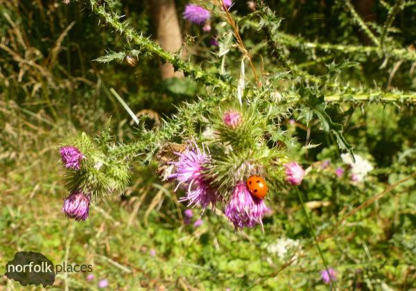 Great Fen Trail - Ladybird