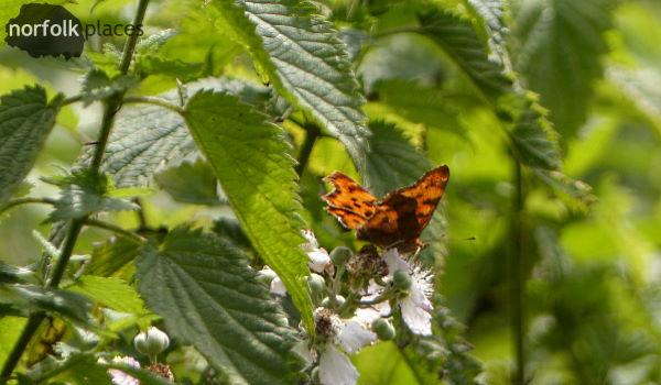 Great Fen Trail butterfly1