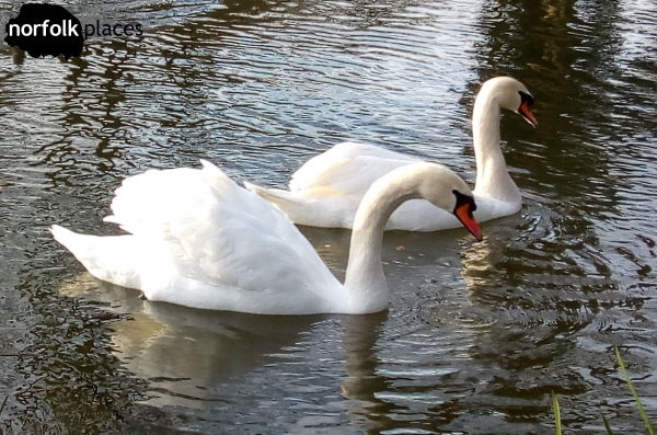 Swans in river yare near Cringleford