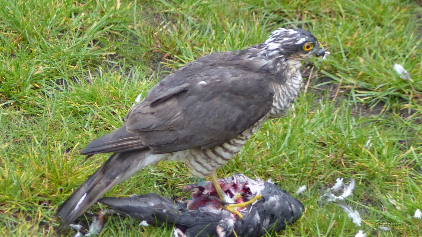 Sparrowhawk visits NorfolkPlaces