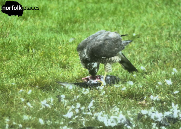 Sparrowhawk in Norwich